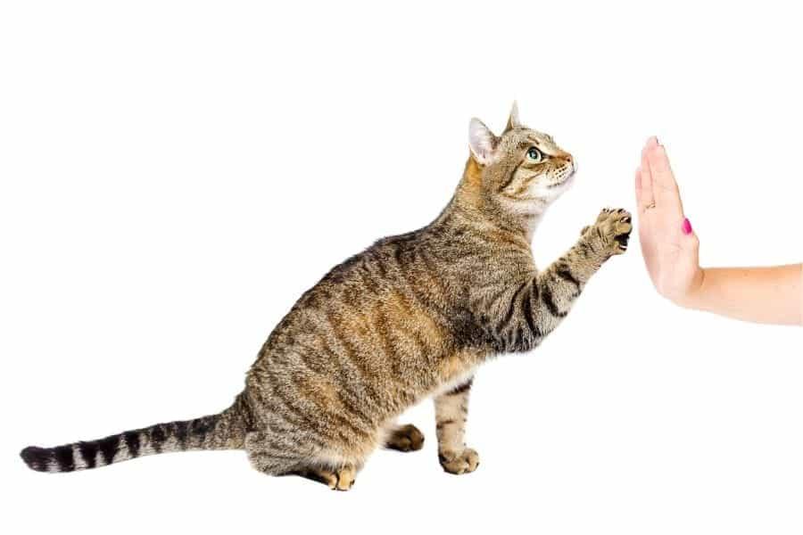 Gato choca esos cinco