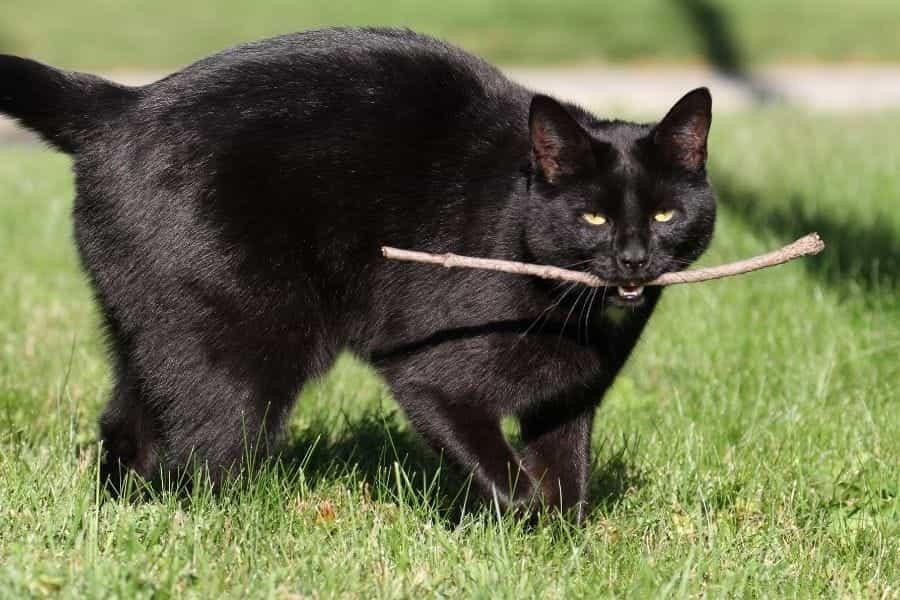 Traer gato