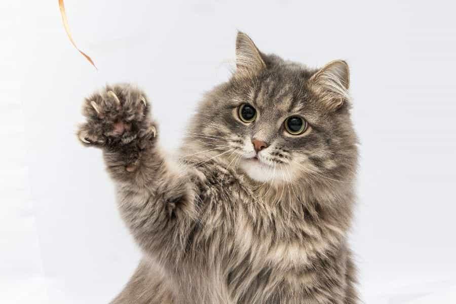 Cómo entrenar a un gato para que haga trucos