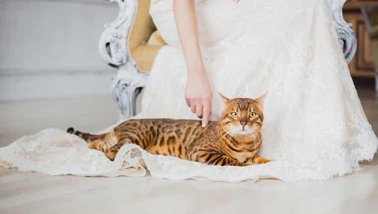 El gato de Bengala se sienta cerca de la novia, ella toca al gato.