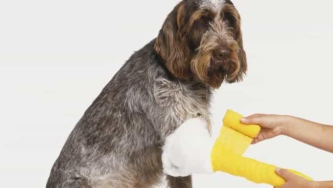 perro recibiendo una gasa para controlar el sangrado