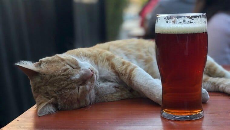 Los gatos no pueden beber alcohol.  Foto tomada en Córdoba, Argentina.  Gato acostado junto a la cerveza.