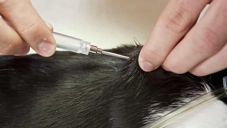 Un veterinario está inyectando un microchip entre los omóplatos de un gato joven.