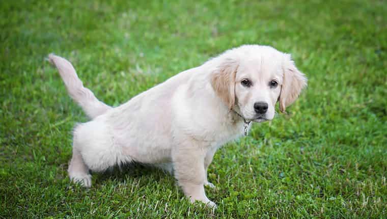 Puedes usar el césped para entrenar a tu cachorro en el interior