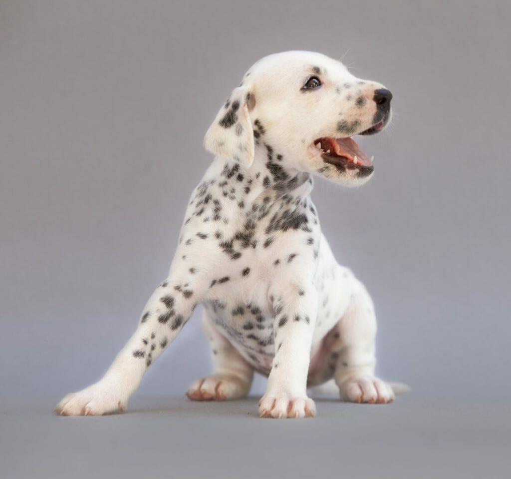 hipo de perro