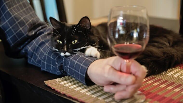 De ninguna manera este lindo gato de 6 meses se quedará solo en la hora feliz.  Está apoyado en el brazo del dueño.  Hombre sosteniendo una copa de vino.  Tiro horizontal en interiores.