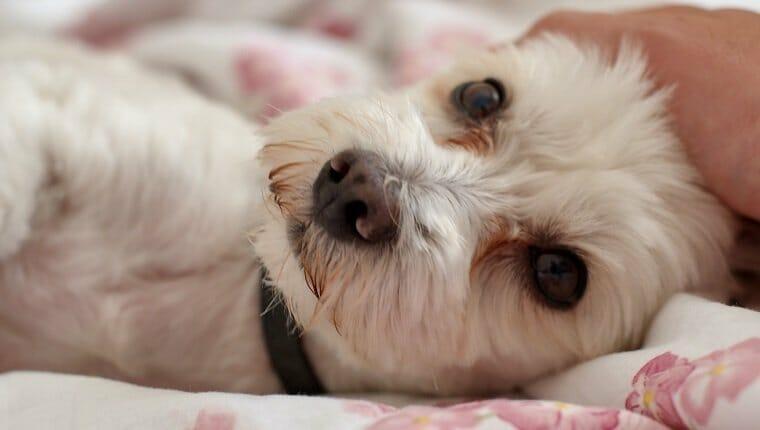 Perro acostado en la cama mientras mira a la cámara