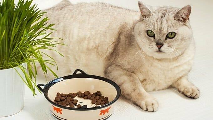 gato con sobrepeso con comida