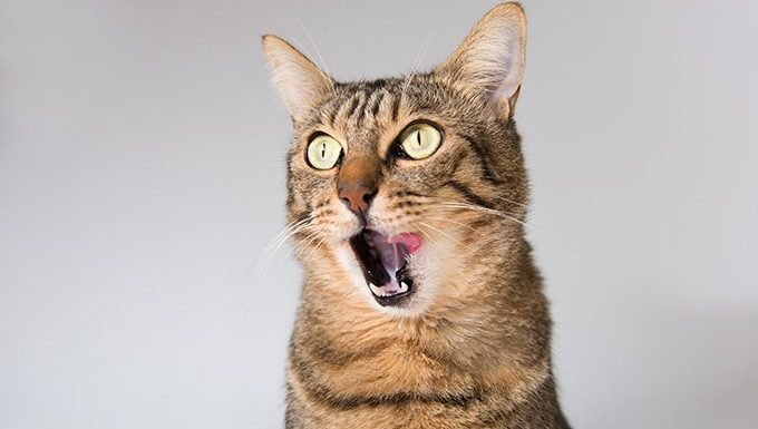 gato lamiendo chuletas