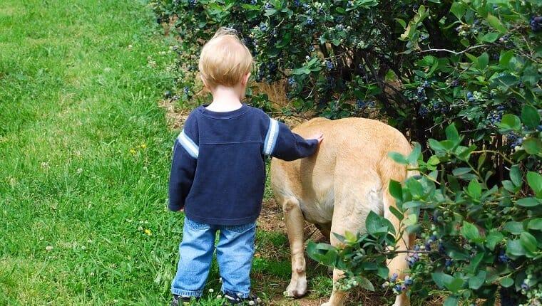 Un niño y su perro labrador amarillo en una granja de arándanos en Hood River, Oregon.