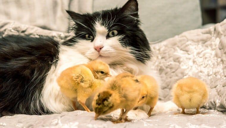 Gato y pollitos juntos en el sofá