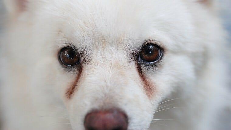 Cachorro blanco con manchas obvias en los ojos, provocadas por secreción ocular.