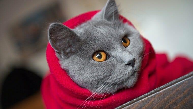 Gato envuelto en una manta roja, listo para los fríos días de invierno