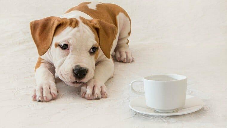 Cachorro, recién nacido, perro, mascota, primer plano, American Staffordshire Terrier, taza de café / té, invitación al té.  ¿Qué tan malo es el té para los perros?