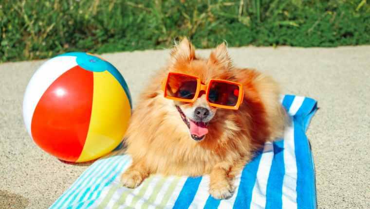 perro en toalla de playa en verano.  ¿Sudan los perros?