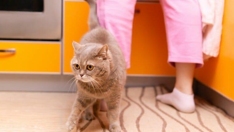 lindo gato escocés heterosexual caminando a los pies de su dueño en la cocina