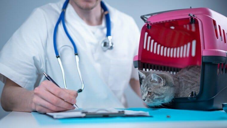 Atigrado lindo gato raza escocesa recta visitando al médico veterinario en el hospital de animales.  Veterinario europeo feliz con portapapeles en la clínica junto al transportador de mascotas en la mesa de examen.  Práctica veterinaria.