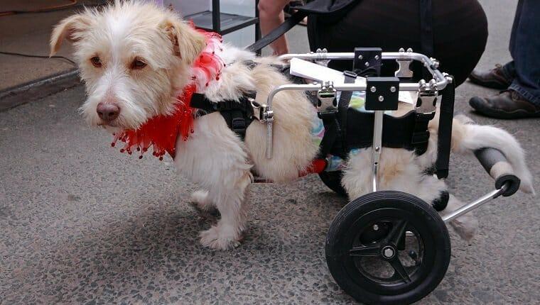 Perro paralítico paseando con un paseador de mascotas