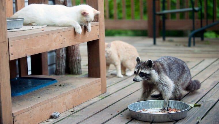gatos y mapaches
