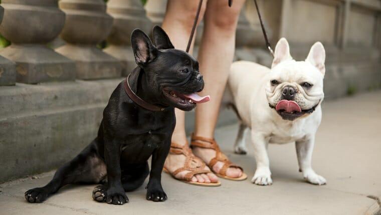 Estados Unidos, Estado de Nueva York, Ciudad de Nueva York, Retrato de dos Bulldogs franceses