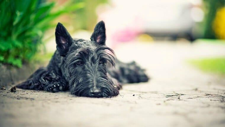 Terrier escocés acostado sobre hormigón, posiblemente sufriendo la enfermedad de von Willebrand