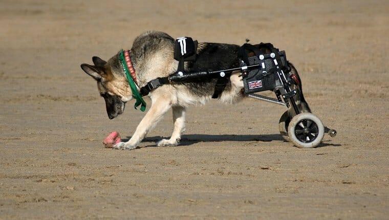 Perro de Alsação en la playa con ruedas de movilidad para reemplazar sus piernas paralizadas en Cornwall, Inglaterra.
