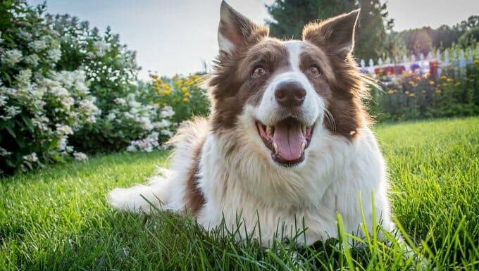 perro feliz sonriendo en la hierba