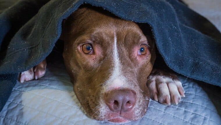 Perro asustado acostado en una cama con la cabeza debajo de una manta