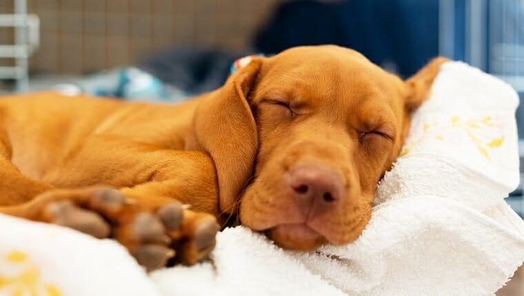 Cachorro vizsla húngaro esponjoso de 2 meses durmiendo en su cómoda cama con manta blanca.