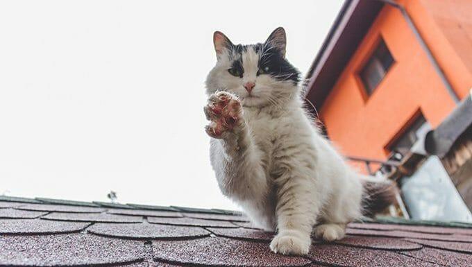 gato en el techo sosteniendo la pata