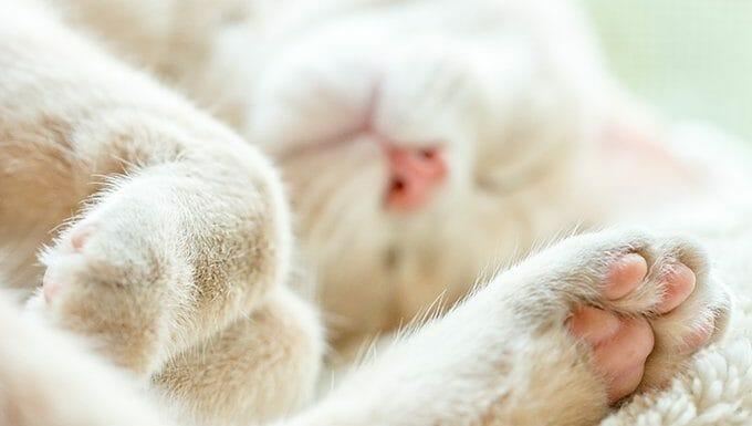gato acostado con la pata mostrando