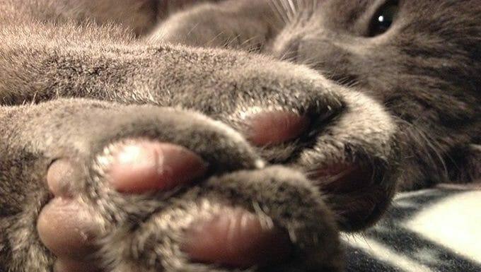 gato mostrando patas
