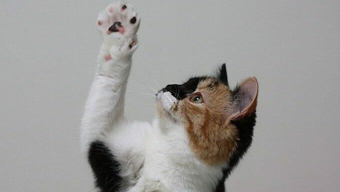 gato alcanzando