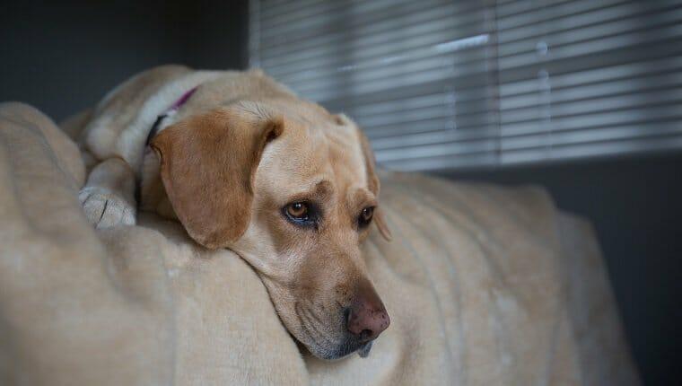 Perro Golden Labrador Retriever acostado en el borde de una cama