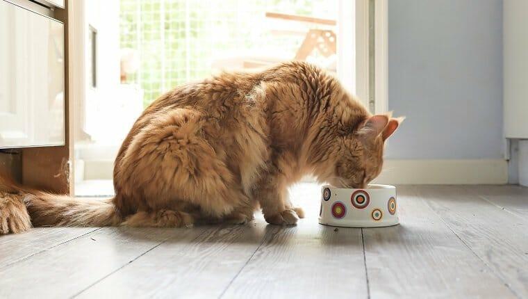 Gato maine-coon comiendo del tazón