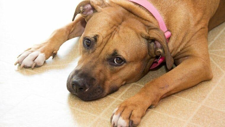 Fotografía de un perro tendido en el suelo de linóleo.  Ella mira hacia arriba como para hacer una pregunta.