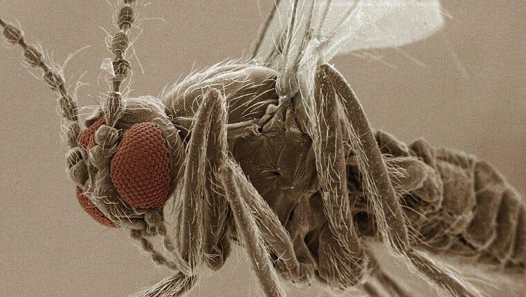 SEM coloreado del ojo de la mosca de la arena (Ceratopogonidae)