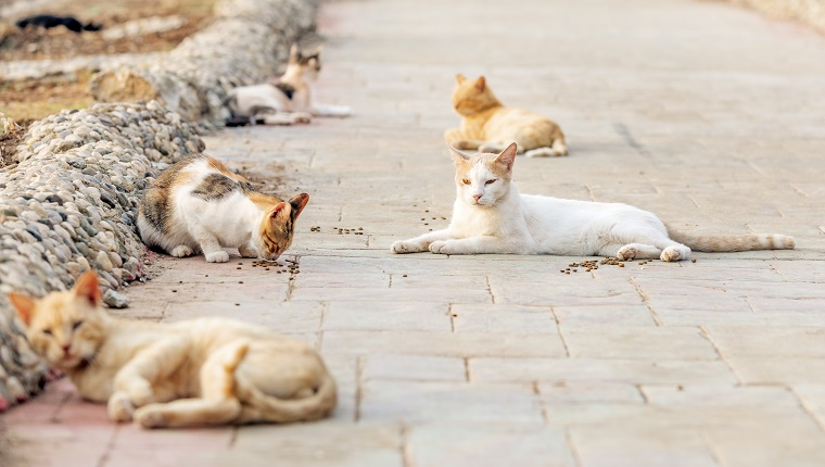 Una colonia de gatos salvajes, callejeros o callejeros.  Los gatos salvajes suelen vivir en grupos llamados colonias, que se encuentran cerca de las fuentes de alimento y refugio.  Algunas colonias están organizadas en estructuras más complejas.