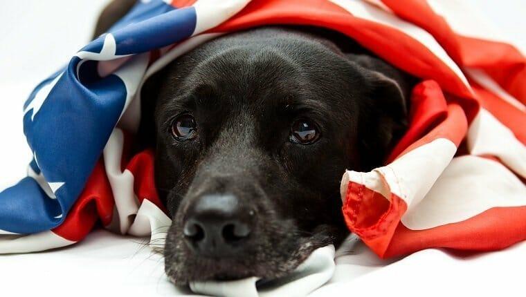 Labrador negro con bandera de Estados Unidos