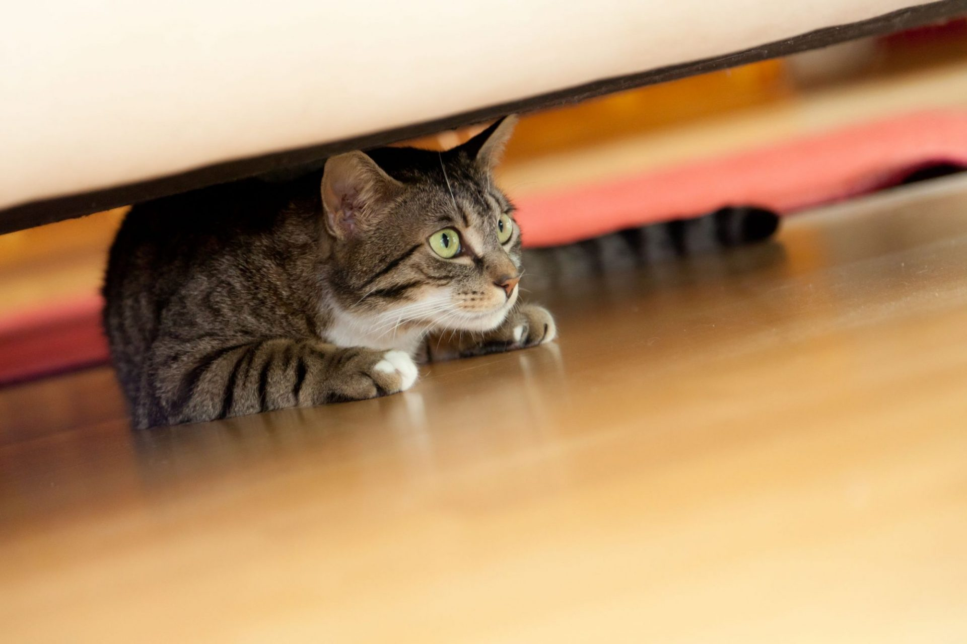 Un gato ansioso se esconde debajo de una cama.