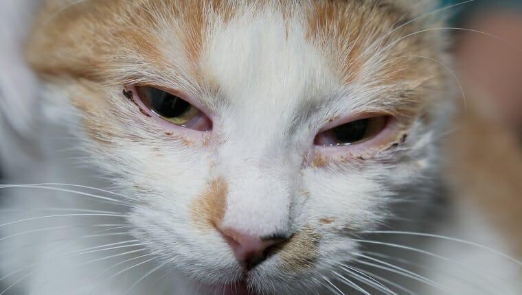 gato adulto con infección por herpesvirus y conjuntivitis purulenta