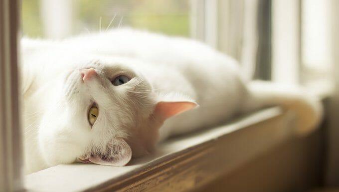gato blanco tumbado bajo el sol
